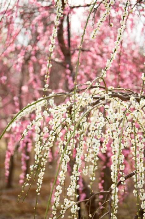 apricot & plum - oh, OK, joi! Jesu I miss Japan!