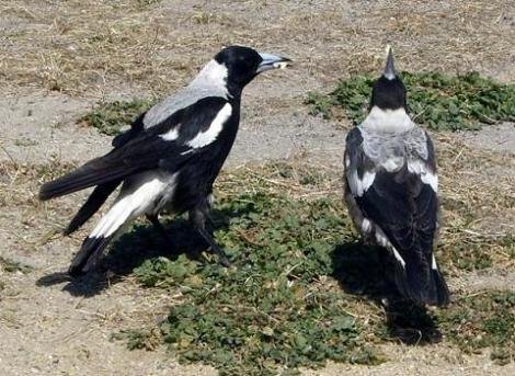 magpie guardians