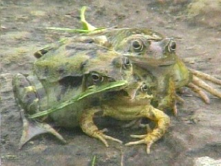 The frog was reportedly found at a children's day nursery in the English village of Weston Super-Mare