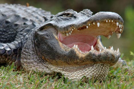 American alligators live in freshwater environments, such as ponds, marshes, wetlands, rivers, lakes, and swamps
