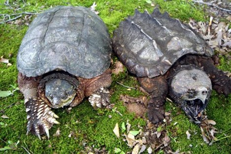 Common snapping turtle (left) and alligator snapping turtle (right)